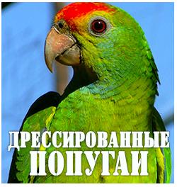 Дрессированные попугаи